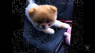 Жизненный позитив - Померанский шпиц Бу   самая популярная собака Фейсбука