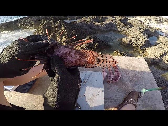 Venomous Lionfish Cleaning Roger with Kim Hanlon DiveTech Instructor, Grand Cayman