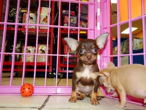 Chihuahua Puppies Dogs For Sale In Jackson Mississippi Ms