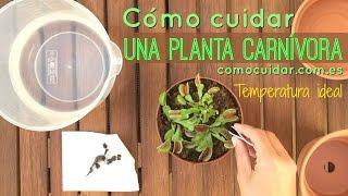 Cómo cuidar un planta carnívora (temperatura ideal)