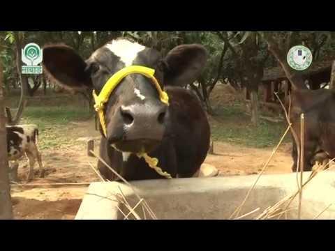 Pregnancy related Problems in cow (गायों में गर्भधारण से संबंधित समस्याएं)