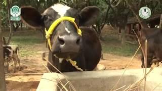 Gambar cover Pregnancy related Problems in cow (गायों में गर्भधारण से संबंधित समस्याएं)