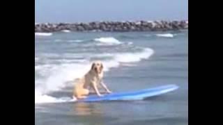 Labrador Dog sea waves surfing