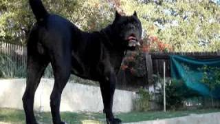 Cane Corso Puppy Fight