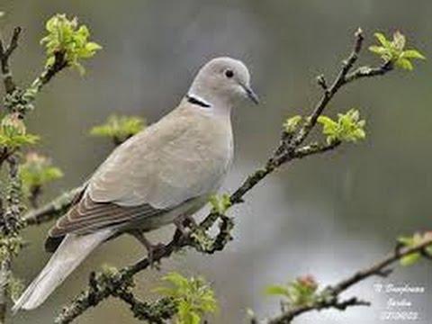 Tourterelle Turque - Eurasian Collared Dove - Chant