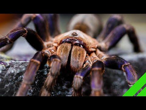 Cobalt Blue Tarantula (Cyriopagopus Lividus) Care And Info H. Lividum