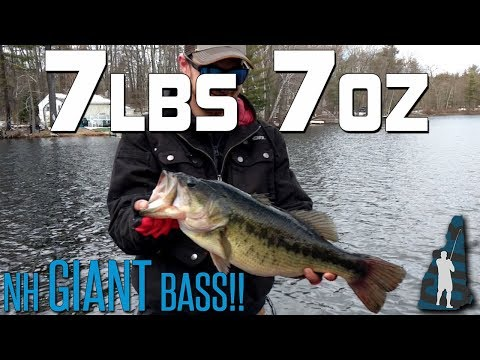 7 Lbs 7 Oz New Hampshire GIANT! // Cast To Catch