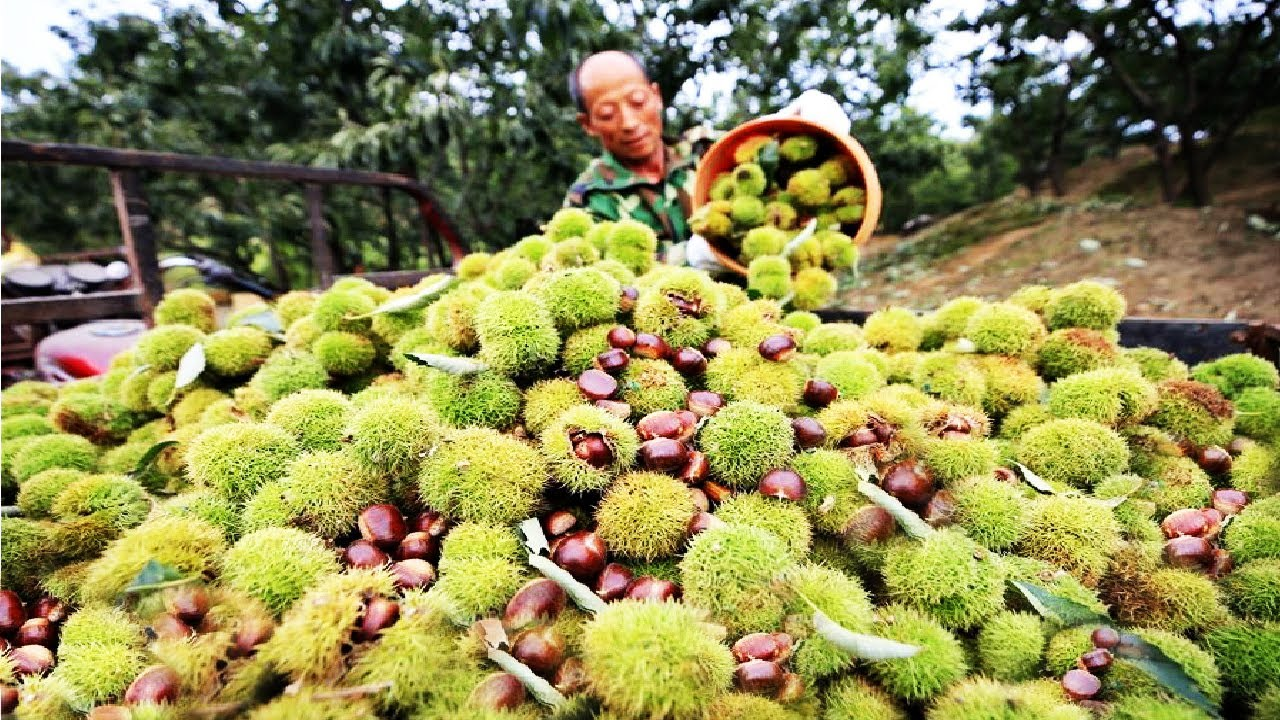 Download Chestnut harvesting machine - Chestnut processing in factory - Chestnut Flour and Chestnut cake