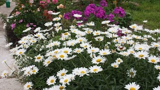 Цветущий сад без лишних затрат  Многолетники из семян – это выгодно!