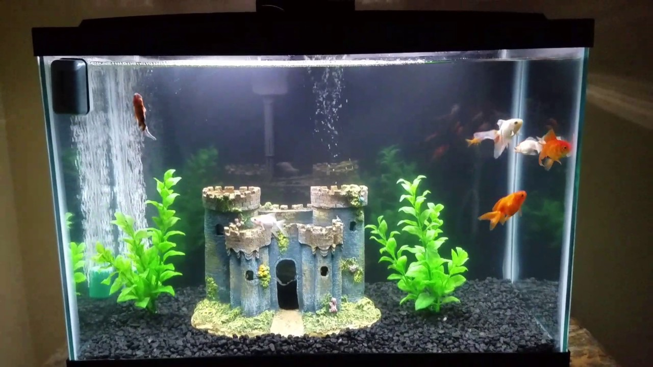 Fancy goldfish 20 gallon tank youtube for Fancy fish tanks