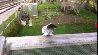 Taklacı Güvercinleri Süper Erkek