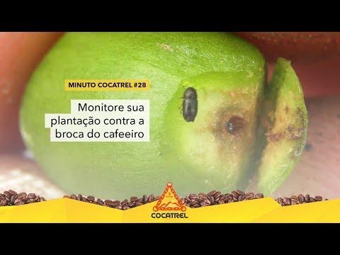 Monitore sua plantação contra a broca do cafeeiro