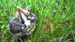 Dont feed baby birds...