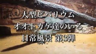 Twitter https://twitter.com/animal_papa 大型ビバリウム オオトカゲ達...