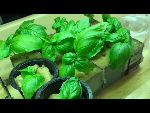 Complete Kratky Hydroponic Setup From Start To Finish