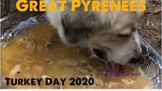 Great Pyrenees Eating Turkey