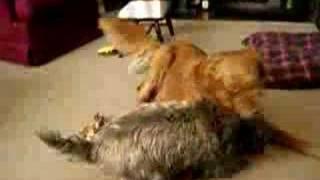Cody The Cairn Terrier: Pro-wrestling Dog!