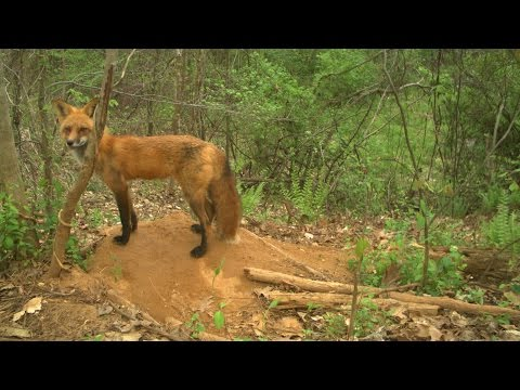 Coyote Finds Den of Red Fox Pups
