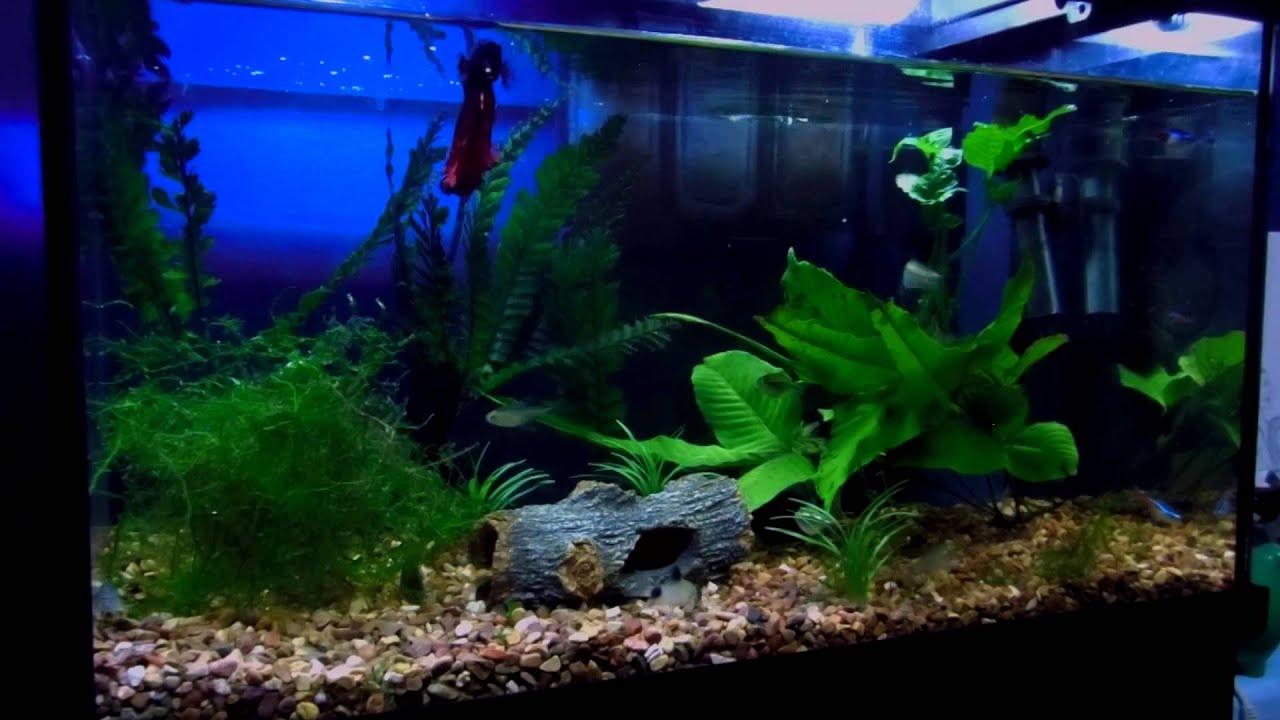 Betta 10 gallon community tank youtube for Community fish tank
