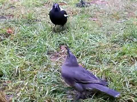 Magpie Verses Grey Currawong