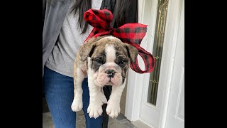 Christmas Puppy Surprise for Mom  Emotional