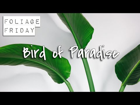 FOLIAGE FRIDAY | How To Care For Strelitzia (Bird Of Paradise)