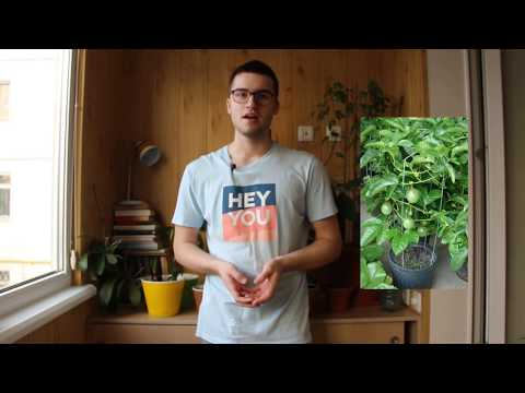 Выращивание маракуйи в домашних условиях
