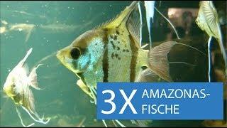 3 der schönsten Fische fürs Amazonas-Aquarium
