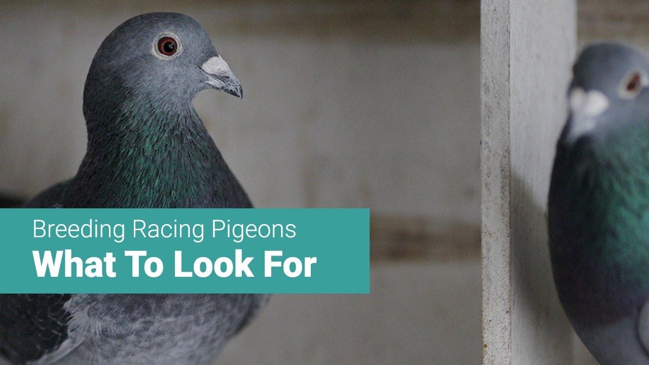 Racing pigeons breeding methods - photo#47