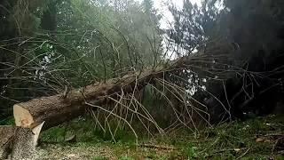 Tažba dreva🌲Mohutne stromy SK/CZ#Tree felling Big Spurce