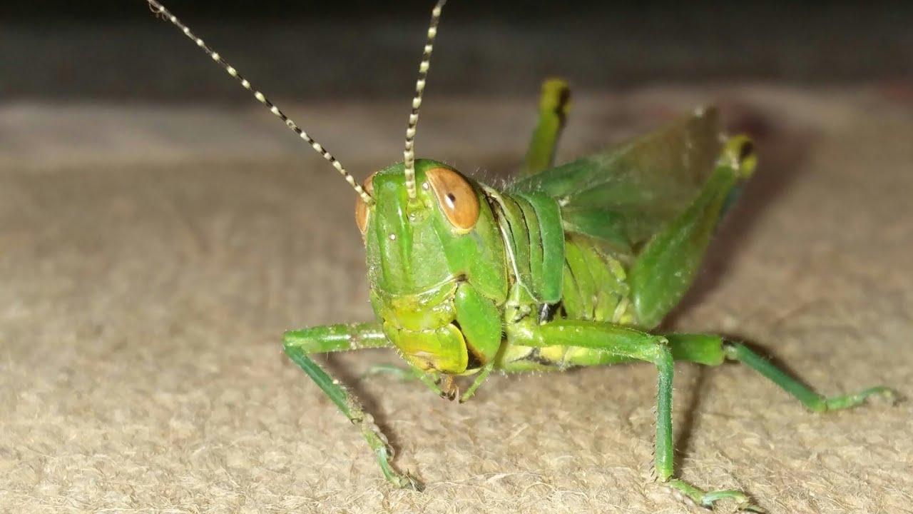 maycintadamayantixibb: Function Of Forewings In Grasshopper