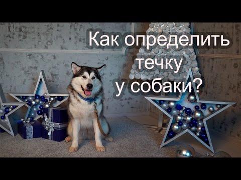 �� Как определить течку у собаки?