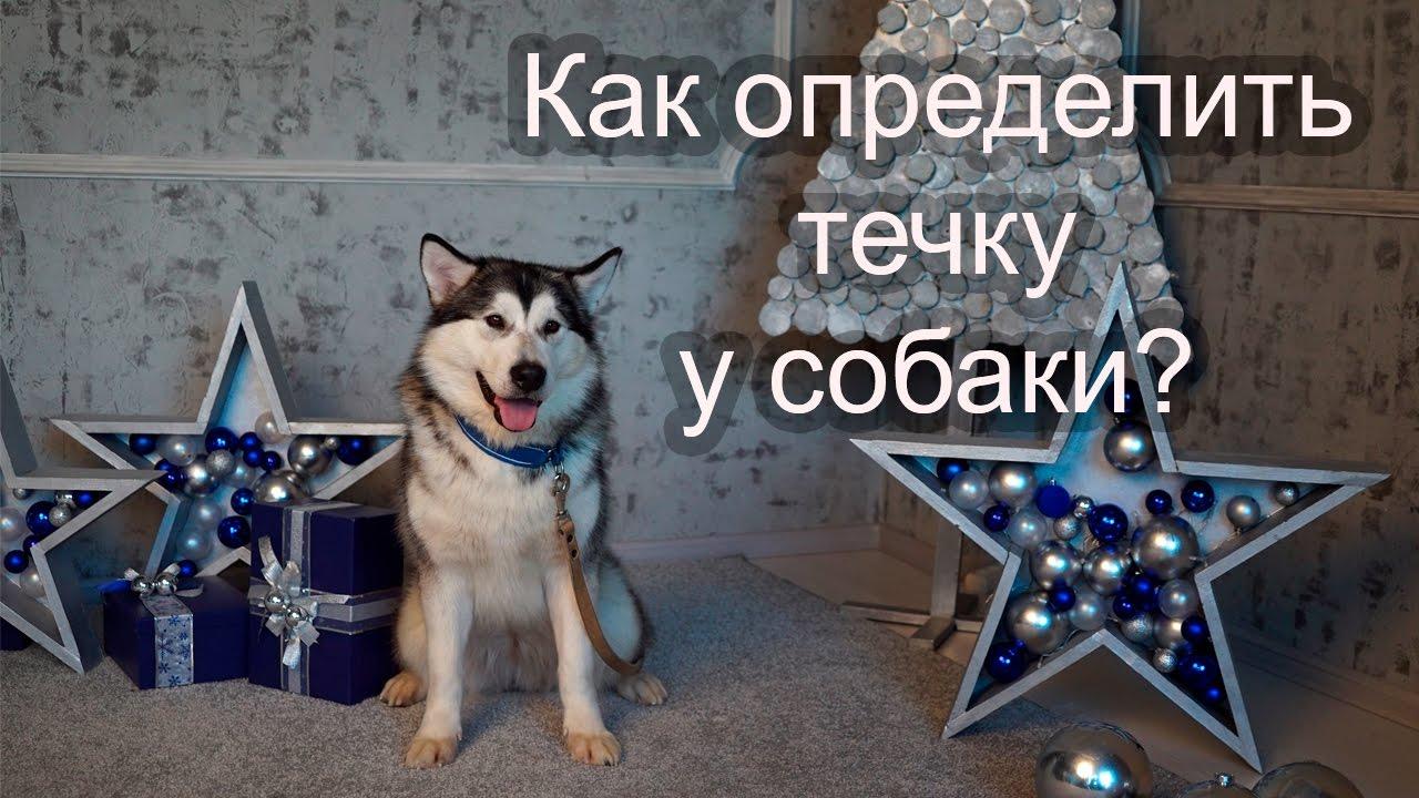 как определить течку у собаки фото