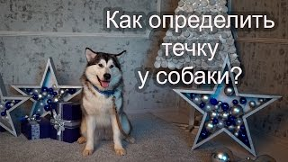 🐶 Как определить течку у собаки?