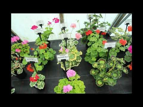 Visit To Fibrex .Part 5,Variegated Zonal Pelargoniums.