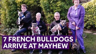 7 French Bulldogs arrive at the rescue | Mayhew