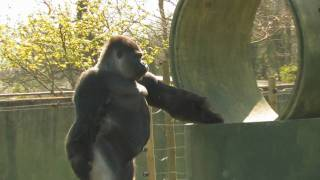 The Gorilla that stands & walks like a MAN!, Swaggers & TWERKS too!