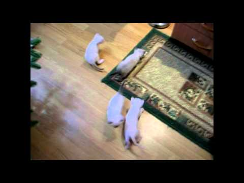 Как быстро растут котята до полутора месяцев! Улётное видео! Тайские кошки - это чудо! Funny Cats