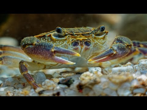 Freshwater Pom Pom Crabs - Amazing Peaceful Fully Aquatic Freshwater Crabs