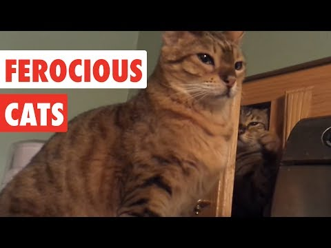 Ferocious Cats | Funny Cat Video Compilation 2017