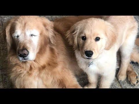 Bama, Rob & Heather - C'mon Get Happy: Senior Golden Retriever Gets Seeing-Eye Puppy!