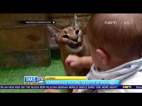 Talkshow  - Tips Pelihara Kucing Afrika
