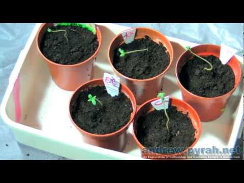 Part 3 Time To Grow Some Weed (Repot The Seedlings)