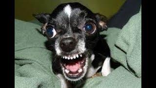 Chihuahua vs Seal !!! NO FEAR AT ALL