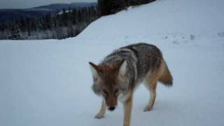 Coyote Attack Best Footage Ever thumbnail