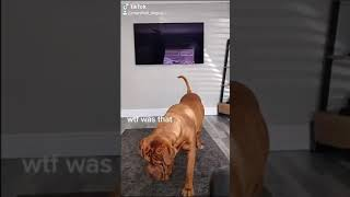 Marshall the Dogue De Bordeaux confused by fly, daft dog that loves to play soft temperament | Funny