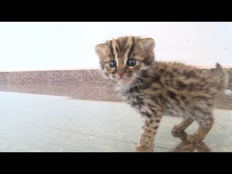 Police adopt baby leopard cat in southwest China
