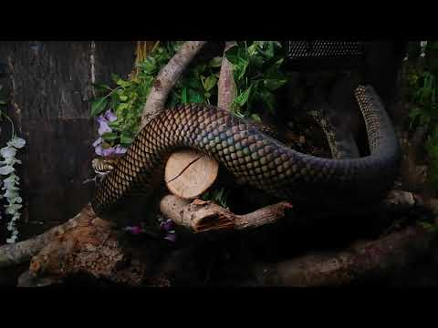 Sorong Barneck Scrub python Behavior