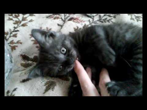 Предлагаем котят. Котята шотландские страйт окраса черный дым.