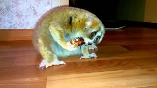 Лемур Лори vs таракан